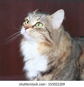view of a siberian cat, female brown tabby