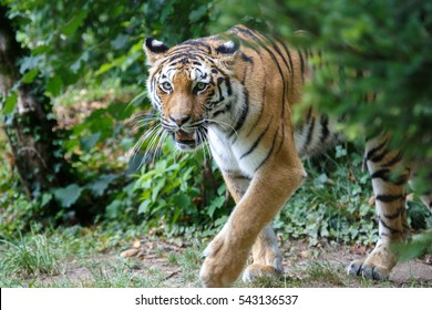 View of a siberian tiger or Amur tiger, Panthera tigris altaica, moving in the forest.