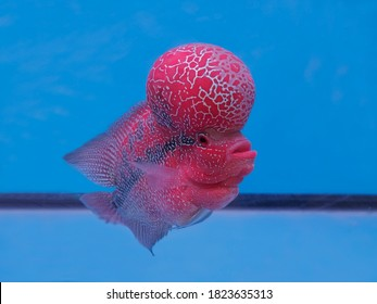 View side of Flower horn Cichlid diving in fresh water glass tank with blue background.
