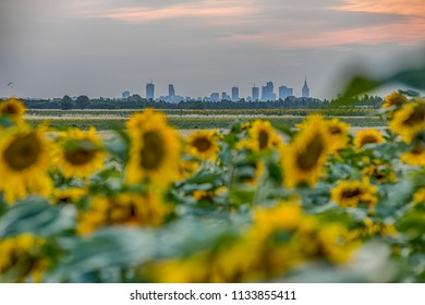 View of skyscrapers in Warsaw through field of sunflowers during the sunset