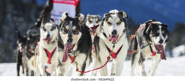 View of sled dog race on snow in France