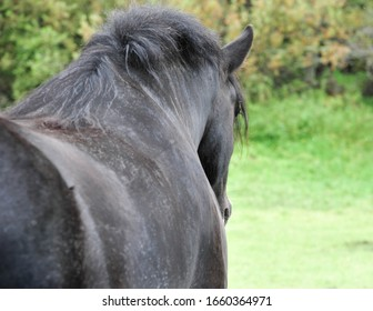 View of a sleepy Clydesdale horse over his majestic black back