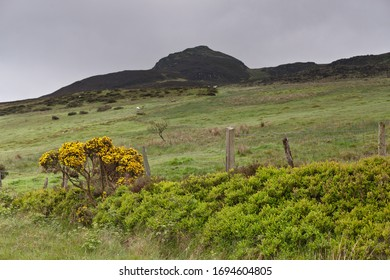 View of Slievenaglogh peak (Irish: Sliabh na gCloch) on the road from to Riverstown with grazing white horses. yellow heather.  Cooley Peninsula, County Louth, Ireland.