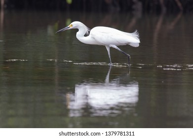 View of a Snowy Egret in the water