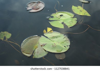 A view of some nearby lily pads on the pond surface.