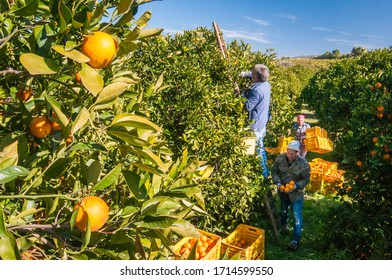 View of some tarocco oranges on tree and pickers during harvest time near Francofonte, Sicily, January 29 2020