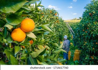Blick auf einige Tartokoko-Orangen auf Baum während der Erntezeit in Sizilien