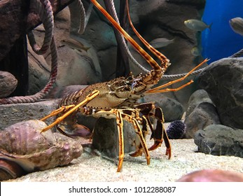 view of a Spiny lobsters surrounded by stones and conches, inside a saltwater aquarium