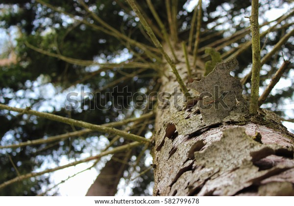 View of the spruce tree top from the ground. Branchy trunk and flaky bark.