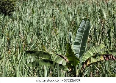 A view of sugar cane plantations near the city of Piura, region called Jijili. In the north of Peru, 2011.