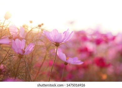 view Summer floral pink background. Flowers in the sunlight,copy space. selective and soft focus is falling