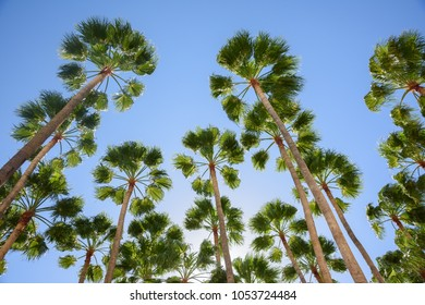 View from a sun lounger, Gran Canaria; looking up through palm trees into blue sky.