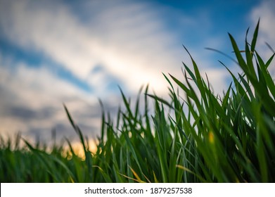 View of the sunset through the leaves of green grass. Blue sky turning golden. Shallow depth of field. Sun rays. Green grass leaves.