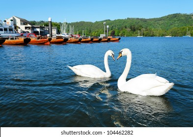 View of swans in Lake Windermere at Bowness Lake District National Park Cumbria England