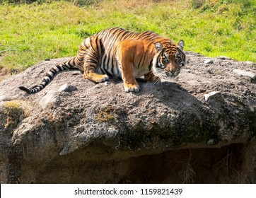 A view taken from above of a tiger crouched low on a rock with grass in the background, all limbs bent and tense as if ready to spring in to action and with an alert expression and direct look