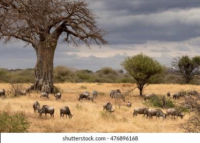 View of Tanzania savanna with a herd of wildebeest and zebra grazing