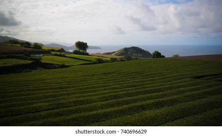 View to tea fields at Sao Miguel island Azores, Portugal