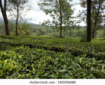 View of the tea garden at Puncak Bogor