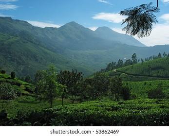 View of tea plantations in the Nilgiri mountains