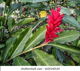 view of Teuila Flower(red ginger) with shallow depth of field.