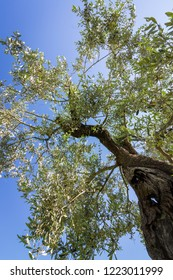 View through the crown of an olive tree