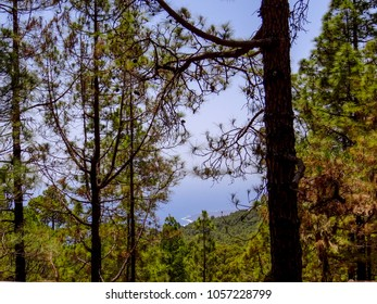 View through pine trees in the mountains of Tenerife to the ocean, Spain, beautiful landscape