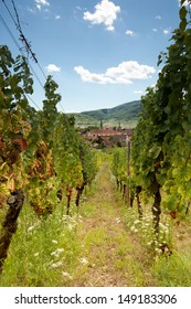 View through vine rows of the vineyards along the famous wine route in Alsace, France