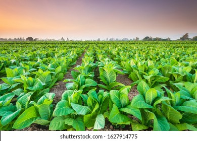 View of tobacco plant in the field at Sukhothai province, Northern of Thailand. Field of tobacco shot in morning time