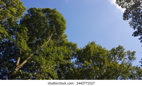 A view of the top branches of tall trees against a blue sky