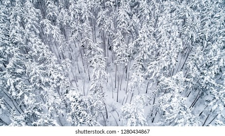 View from the top to the snow-covered tops of the pines in the snowy forest. Aerial view
