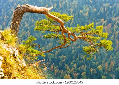 View from the top of Sokolica in Pieniny. Poland. Famous pine tree - recently broken