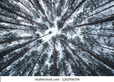 View of the tops of the pine trees in winter forest from the ground. Bottom View Wide Angle Background.
