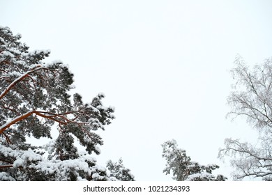 View of tops of the trees in the winter. The tops of pine trees and other trees shot from below against the sky. Fir branches covered with snow.