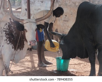 View of a traditional farm in north of senegal near Louga. A man is feeding cows in a park and is bringing water to the animals. The picture has been taken on 11 october 2012.