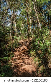 View of trail in the middle of the closed pine forest in Horto Florestal, near Campos do Jordão, a city famous for its mountain and hiking tourism. Located in the São Paulo State, southwestern Brazil