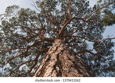 View in a tree crown from below on sunny day. Tree with green leaves and blue sky. Old pine from below