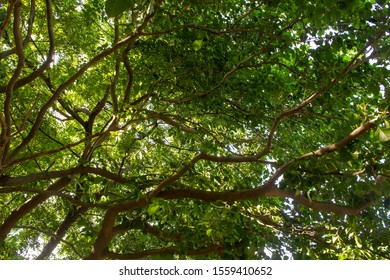 View of the tree with many branches covering wide area and providing shade