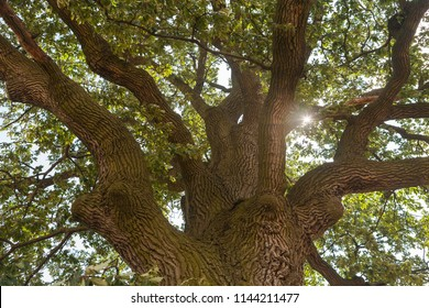 View up to the tree top of a huge oak tree with the sun shining through the branches