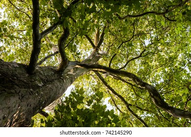 View up to the tree top of a huge plane tree in springtime