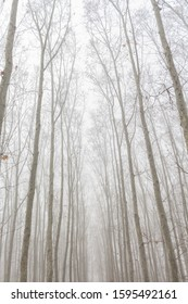 view of the treetops in line with fog around