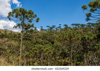 View of treetops in the middle of a pine forest in Horto Florestal, near Campos do Jordão, a city famous for its mountain and hiking tourism. Located in the São Paulo State, southwestern Brazil