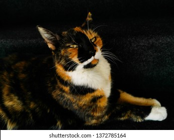 View of tricolor cat with black background