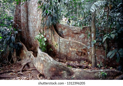View of tropical jungle with tallest tree in the Henri Pittier National Park Venezuela Gyranthera caribensis Pittier