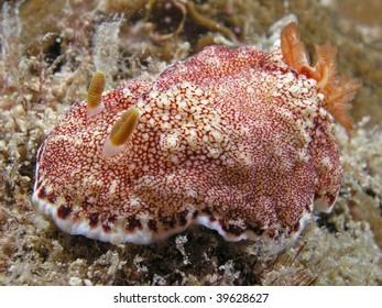 View of a True Sea Slug - Chromodoris aureopurpurea