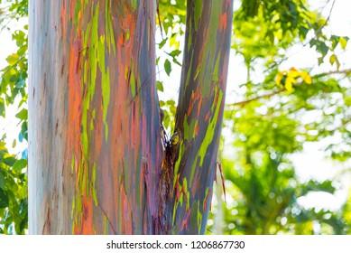 View of the trunk of the rainbow eucalyptus, Kauai, Hawaii, USA. With selective focus