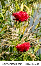 View of two bright red roses (genus Rosa) with focus on the upper flower.