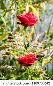 View of two bright red roses (genus Rosa) with focus on the lower flower.