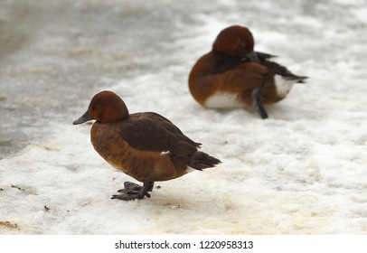 View of two brown ferruginous ducks on the snow