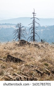 A view with two dead conifer trees on Maljen mountain, Serbia