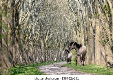 View of two konik horses at Oostvaardersplassen, Netherlands
